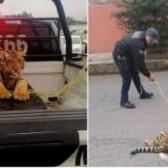Avistan tigre de bengala suelto en Cuautitlán Izcalli