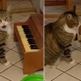 Gato toca minipiano para pedir comida en señal de protesta por estar a dieta