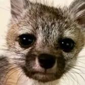 Rescatan a zorro bebé que seguía a un perro pensando que era su mamá