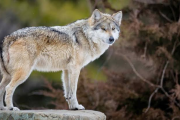 Escapa lobo gris de reserva en Edomex; se pasea por Tenancingo