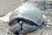 Hallan espécimen de tortuga que creían extinta hace cien años