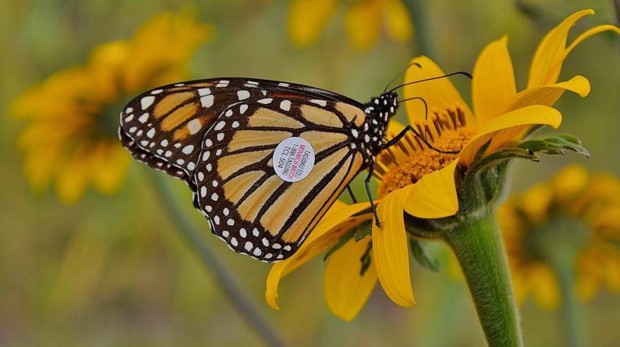 Todo listo para el 7º Festival de la Mariposa Monarca