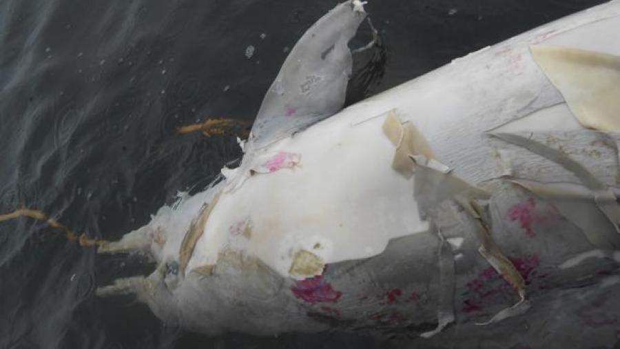 Investigan la muerte de 80 delfines en Brasil