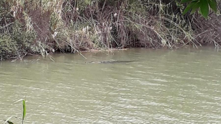Reportan avistamientos de tres cocodrilos en el río Bravo