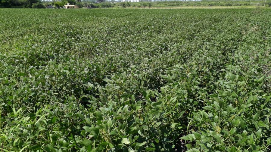 Poca la producción de soya, ante la escasez de lluvias