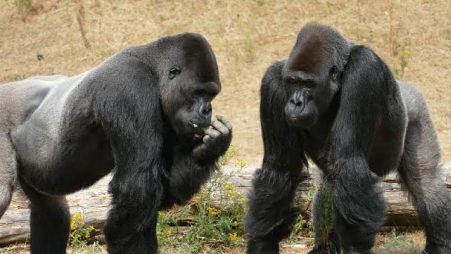 Detectan a un grupo de gorilas contagiados de covid en zoológico de EU