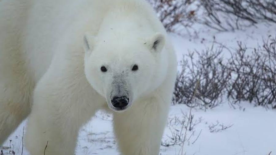 Declaran emergencia en poblado ruso por invasión de osos polares