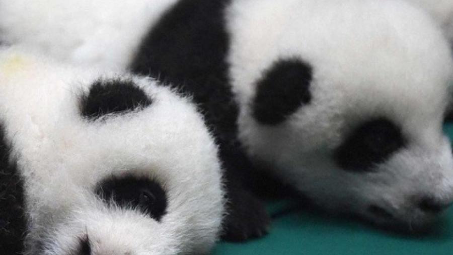 China anuncio nacimiento de pandas gemelos