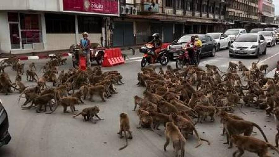 Pandillas de monos se pelean en las calles de Tailandia