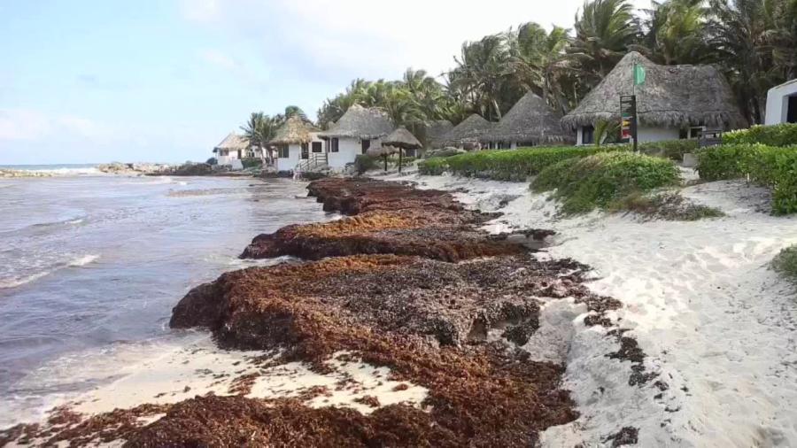 Vuelve sargazo a playas de Cancún