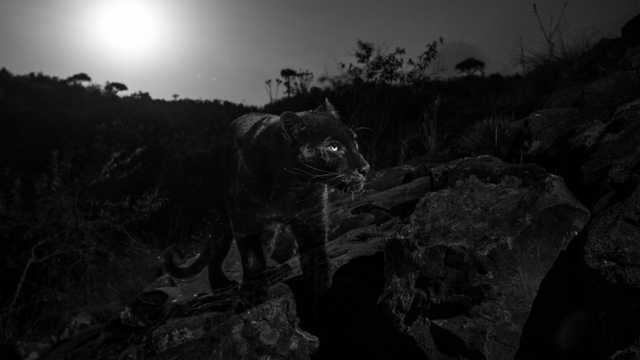 Fotografían leopardo negro a 100 años del último avistamiento