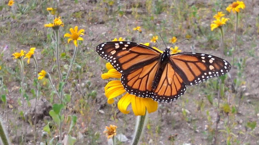 Participa Tamaulipas en convenio para conservar la migración de la monarca