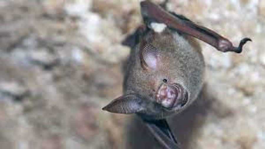 Encuentran 24 nuevos coronavirus en murciélagos de China