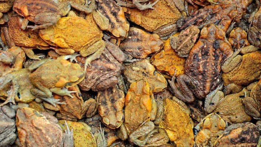 Alerta en Florida por presencia de sapos venenosos