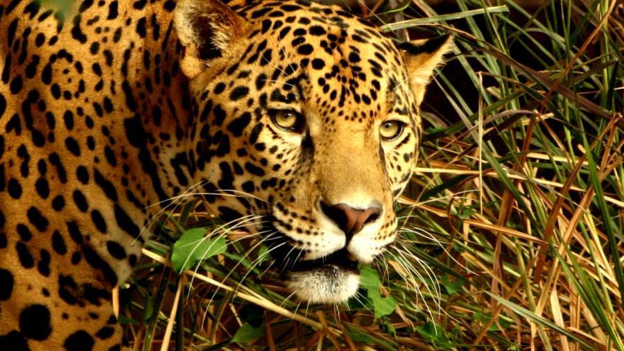 Tamaulipas: hábitat de las 6 especies de felinos  que existen en México