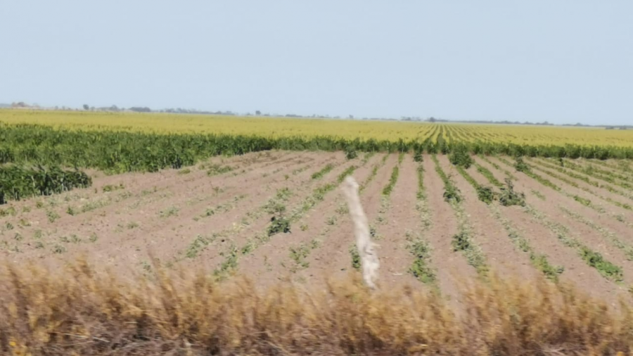 Escasez de lluvia afectará a gremio agricultor y ganadero