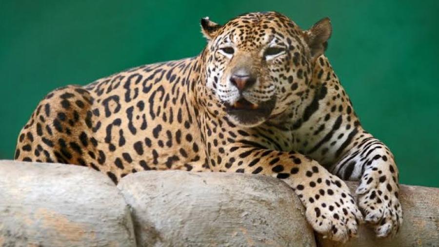 Asesinan de forma cruel a jaguar en Brasil: era esencial para la preservación de su especie