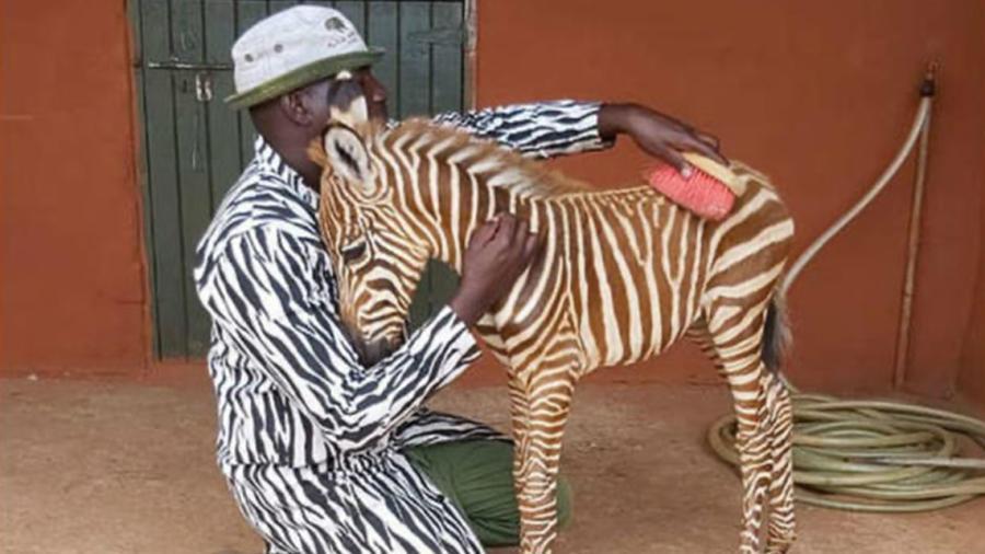 Cuidador de cebra bebé usa traje con rayas para que se sienta confianza