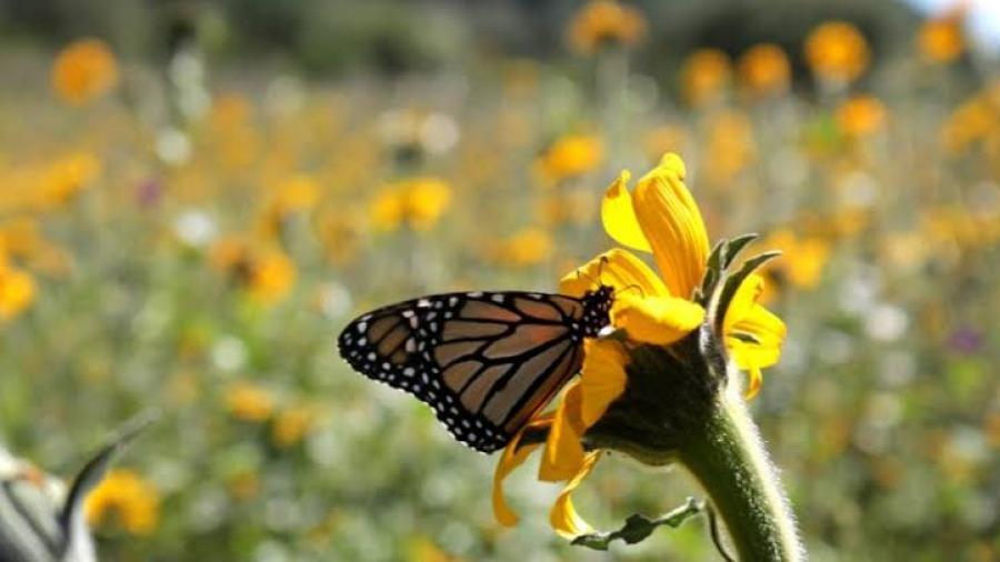 Gobierno de Tamaulipas fomenta conservación de hábitats de la Mariposa Monarca