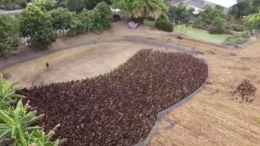 Ejército de patos limpia de plagas los arrozales de Tailandia