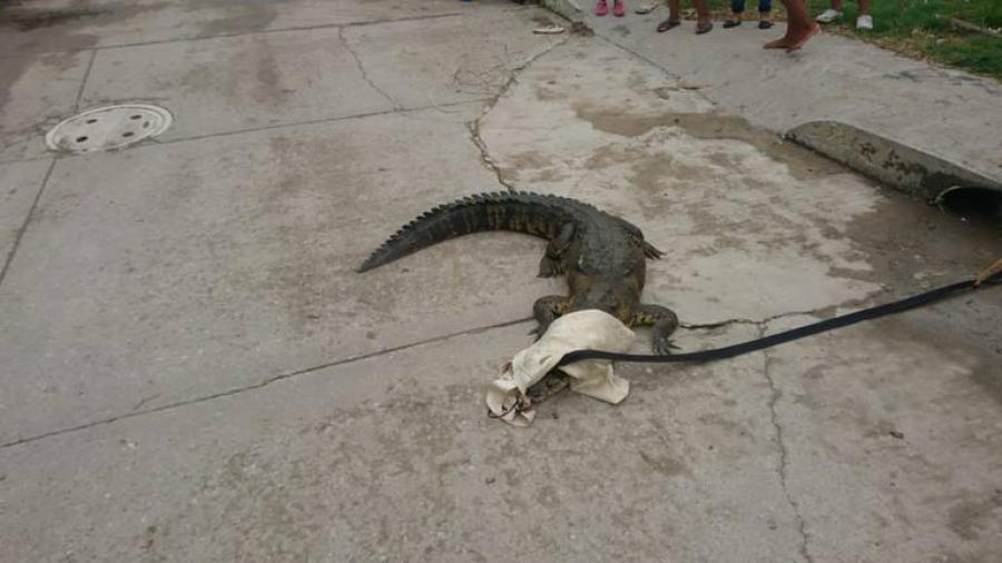 Reubicarán cocodrilos en Tampico