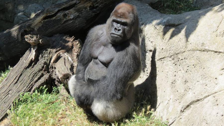 Gorila violenta a cuidadora en zoológico de Madrid