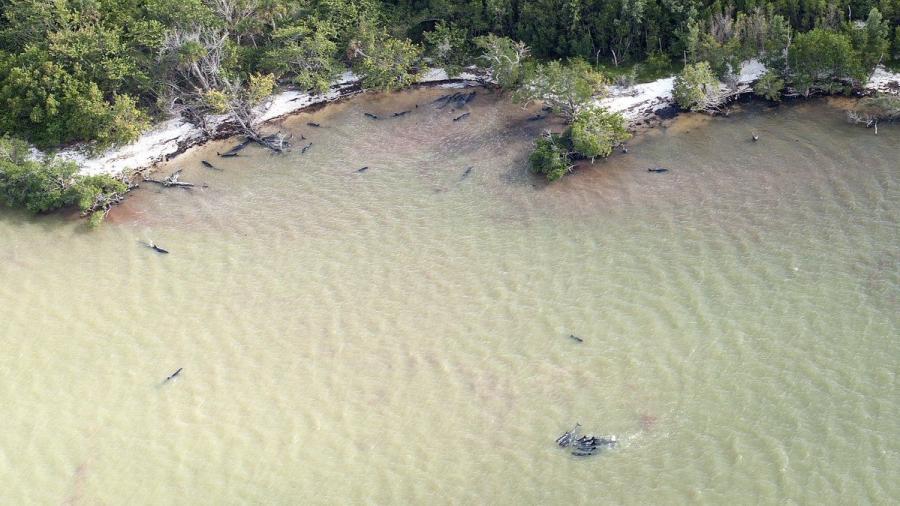 Mueren más de 80 delfines en costas de Florida