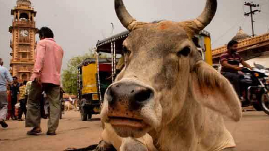 Asesinan a musulman por llevar a pastar vacas en la India