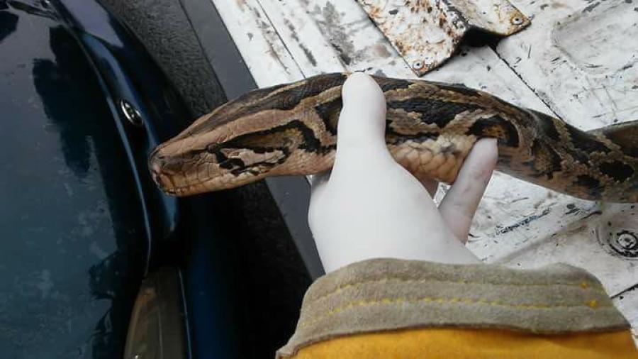 Muere víbora por intenso frío en Matamoros