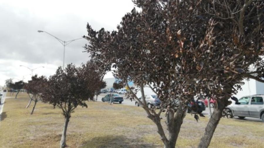 Inician proceso de reposición de arbolitos afectados la pasada helada en Matamoros