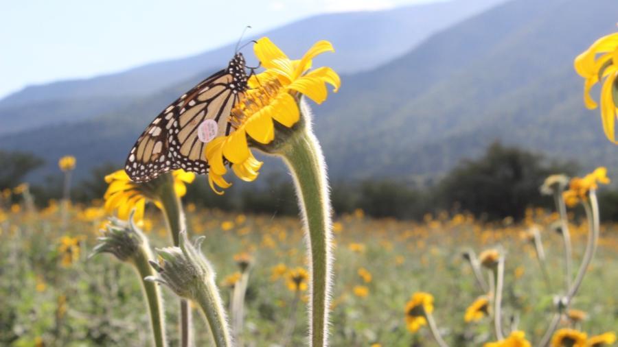 Apoya Gobernador Francisco García Cabeza de Vaca Protección de Mariposa Monarca