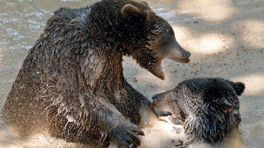 Muere cuidador de zoológico en Shanghái tras ataques de osos