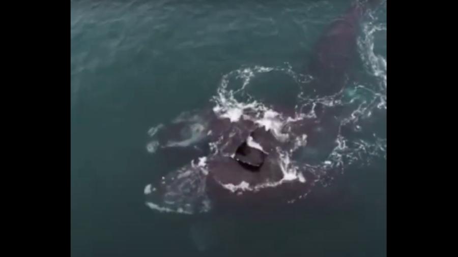 Ballenas en peligro de extinción 'se abrazan' nadando en el Atlántico