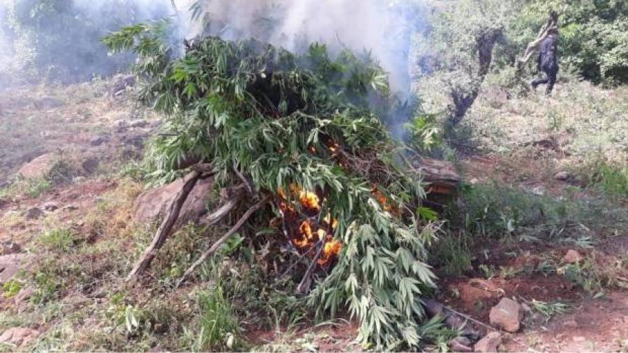 Destruyen más de 20 mil plantas de mariguana en Jalisco