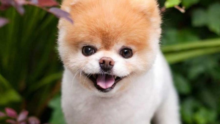 Adiós hermoso Boo, muere el perro más lindo del mundo
