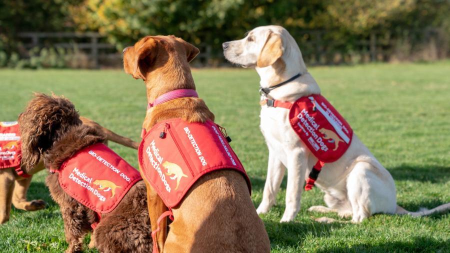 Primeros entrenamientos de perros para detectar pacientes con coronavirus en Reino Unido son exitosos