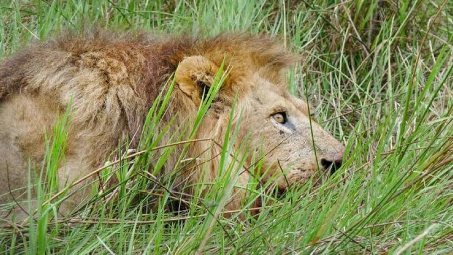 León escapa y genera pánico en las calles de Nairobi