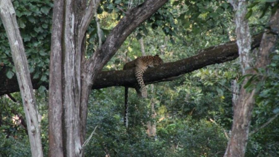 Con drones buscan a Leopardo en la India