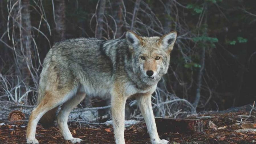 Alertan por ataque de coyotes con rabia