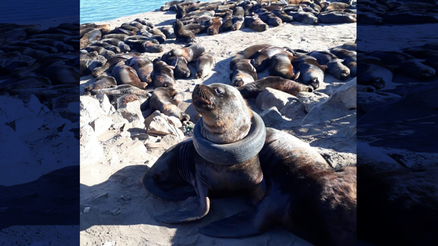 Hallan lobo marino con llanta atorada en el cuello en Argentina