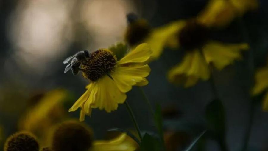 Estudios indican que celulares podrían ser la causa de la mortalidad de las abejas