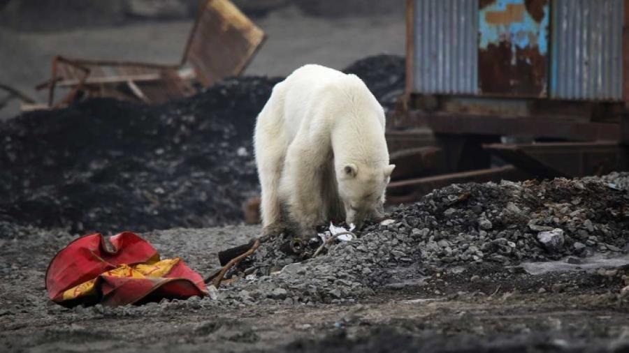 Hallan oso polar hambriento en una ciudad de Rusia