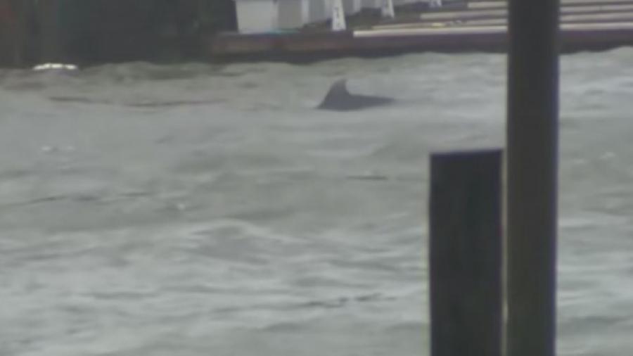 """Captan delfines nadando en calles inundadas por """"Florence"""""""