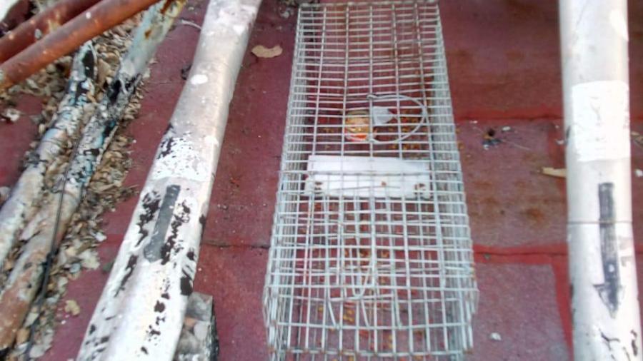 Instalan trampas para mapaches en techos del hospital del ISSSTE