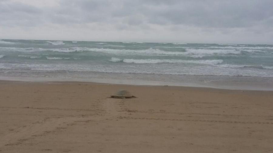 Continúa el arribo de tortugas Lora a playa Miramar